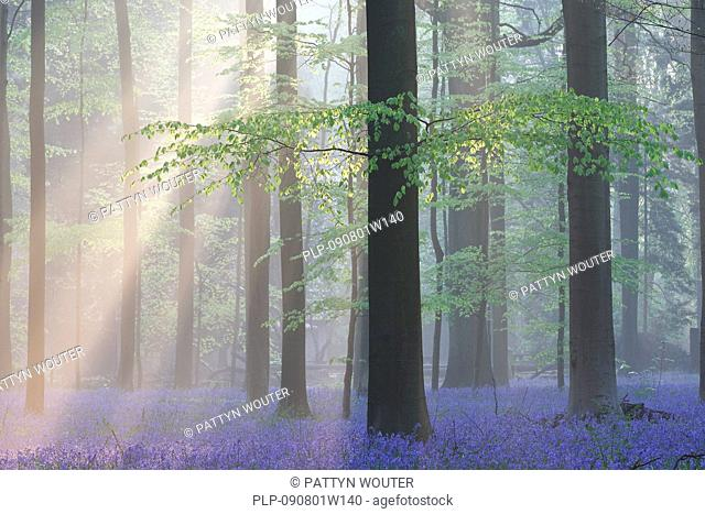 Sunrays shining through early morning mist and bluebells (Endymion nonscriptus) flowering in spring in beech forest