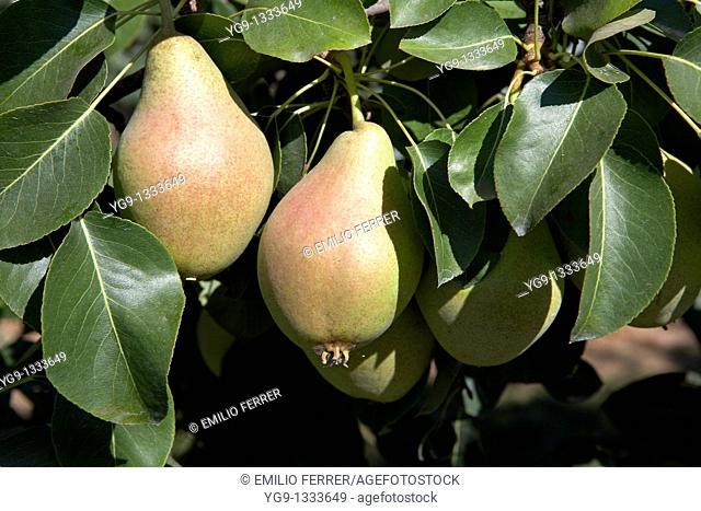 Water Pears on a tree  LLeida  Spain
