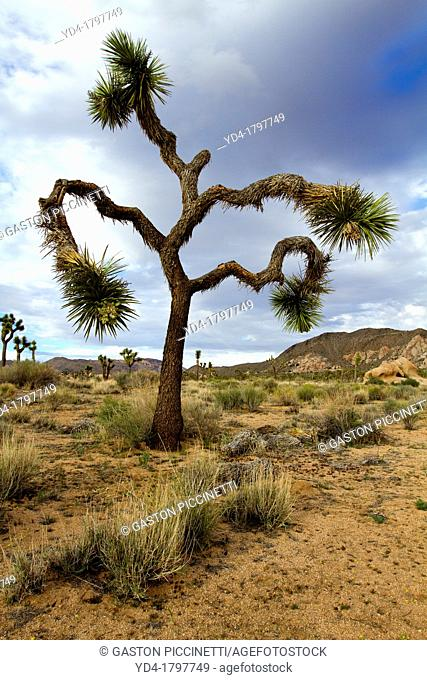 Joshua Tree Yucca brevifolia, Mojave Desert, Joshua Tree National Park, California, USA