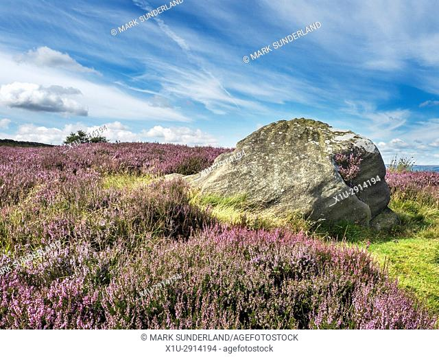 Heather in Bloom around a Boulder on Low Moor near Bewerley Pateley Bridge Nidderdale AONB Yorkshire England