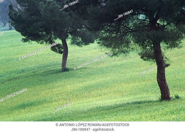 Stone Pines (Pinu pinea). Seville province. Spain