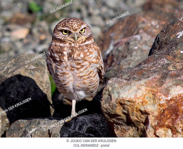 Western burrowing owl, Athene cunicularia hypugaea