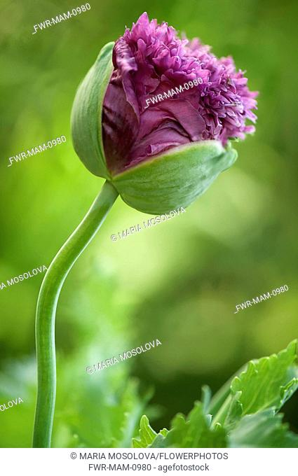 Poppy, Papaver somniferum. Crumpled, ruffled petals of popy emerging from protective green sepals
