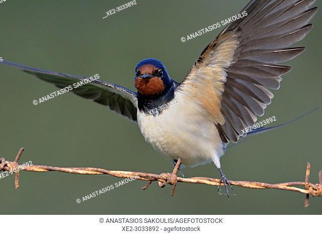 A Barn swallow - Hirundo rustica, Crete