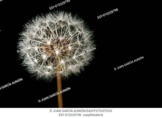Dandelion ball over black background. Closeup of seeds joined by the stem