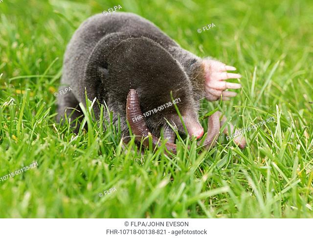 European Mole (Talpa europaea) adult, feeding on earthworm, on garden lawn, Chipping, Lancashire, England, August