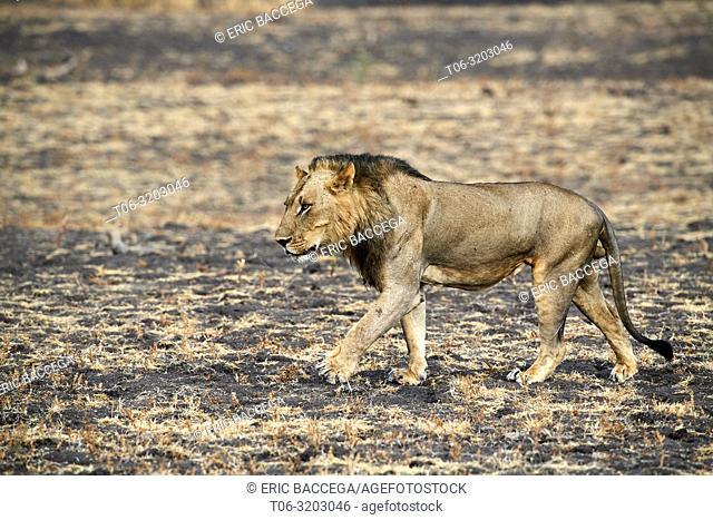 African lion male walking in profile (Panthera leo) South Luangwa National Park, Zambia