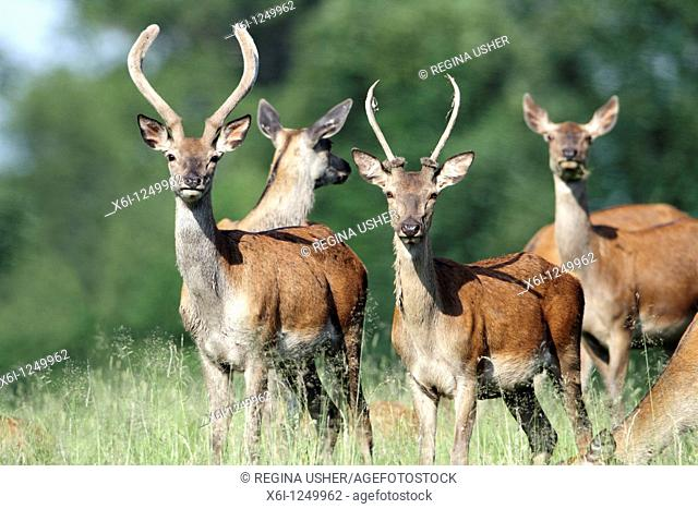 Red Deer Cervus elaphus, two young stags, Germany