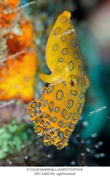 Blue-ringed Octopus (Hapalochlaena sp.) swimming, Makawide Slope dive site, Lembeh Straits, Sulawesi, Indonesia