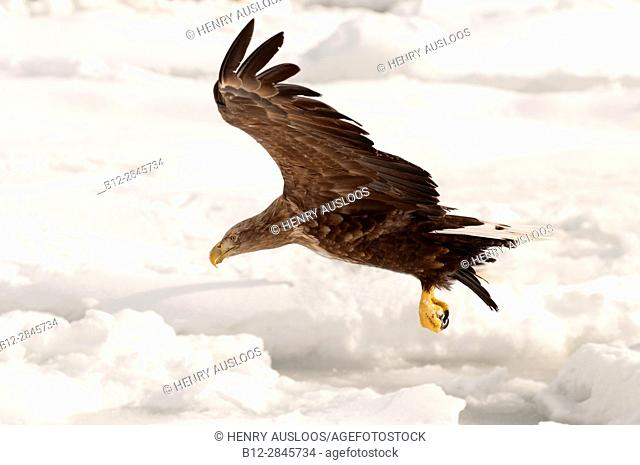 White-tailed Sea-eagle flying on the pack (Haliaeetus albicilla), Russia
