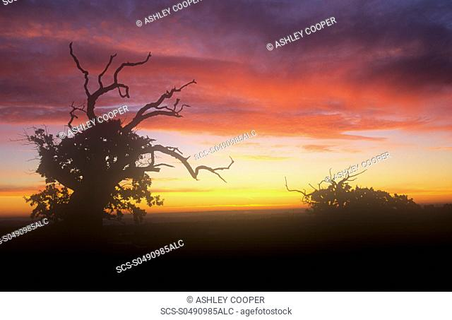 Ancient Oak trees in Bradgate Park in Leicestershire, Uk at dawn