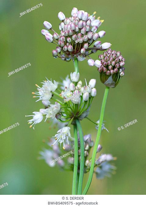 Allium suaveolens (Allium suaveolens), blooming, Germany, Bavaria, Oberbayern, Upper Bavaria, Murnauer Moos