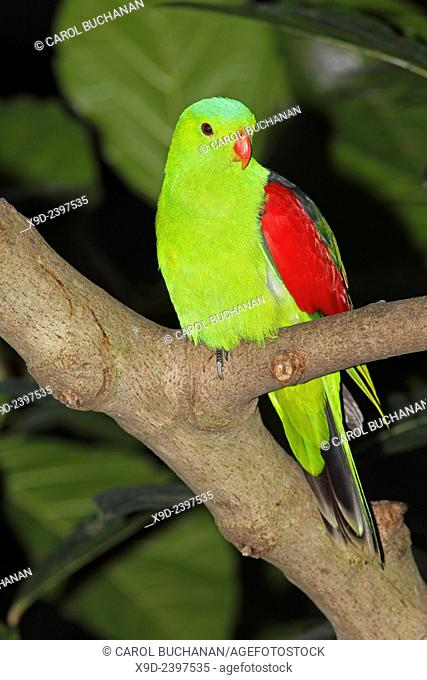 Red-Winged Parrot, Aprosmictus erythropterus. These birds are native to Australia and Papua New Guinea