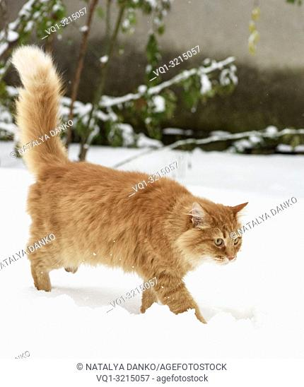 big red cat walking in the snow outside