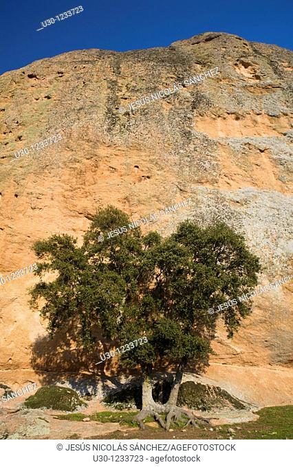 Holm oak Quercus ilex next La Peña, in Los Arribes del Duero Natural Park  Salamanca, Castilla y León  Spain