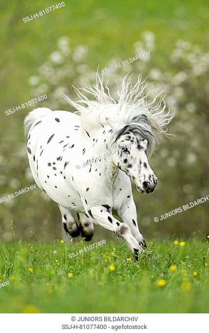 Shetland Pony. Miniature Appaloosa bucking on a meadow. Germany