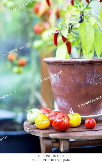 Tomatoes and chili peppers in greenhouse