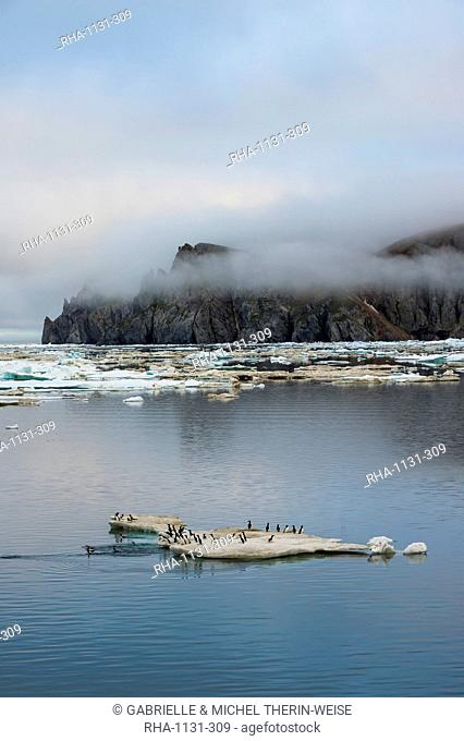 Brunnich's guillemots (thick-billed murres) (Uria lomvia), Cape Waring, Wrangel Island, UNESCO World Heritage Site, Chuckchi Sea, Chukotka, Russia, Eurasia