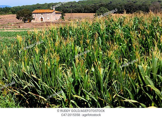 Barcelona province, La Selva, Catalunya, Spain. Corn crop near Tordera