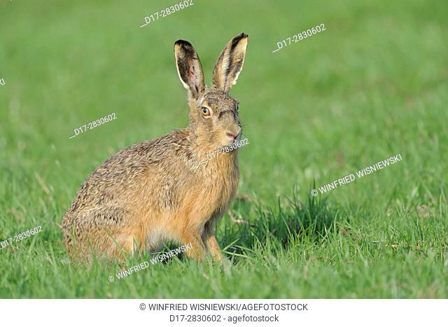 European hare (Lepus europaeus). Texel Island, Netherlands | Feldhase (Lepus europaeus). Insel Texel, Niederlande