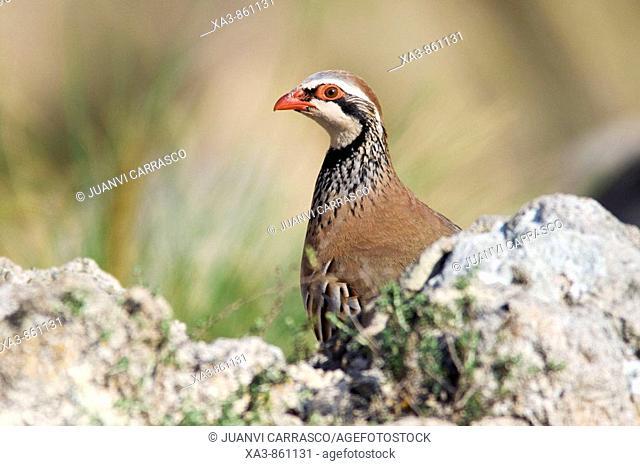 Red-legged partridge, Alectoris rufa  Cabo de Gata-Nijar biosphere reserve, Andalusia, Spain
