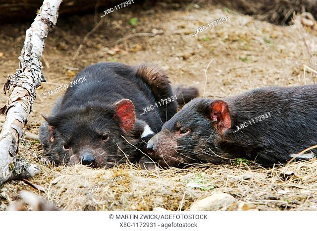 The Tasmanian Devil Sarcophilus harrisii is the largest of the Dasyuridae, strictly protected and endangered  They are primarily nocturnal and opportunists...
