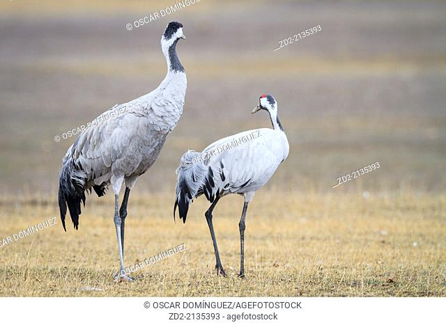 Two Eurasian / Common Crane (Grus grus). Gallocanta lagoon. Zaragoza province. Aragon. Spain