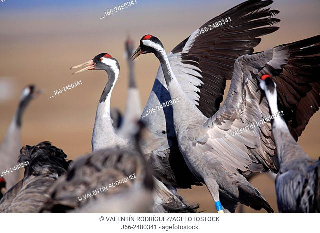 Cranes (Grus grus) in the wildlife reserve Gallocanta. Zaragoza. Spain
