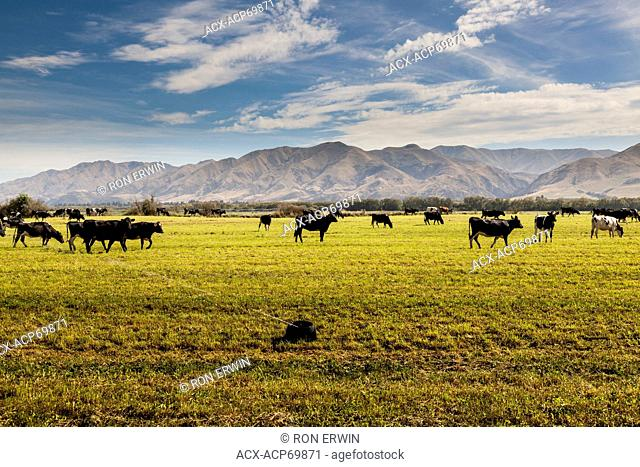Cattle grazing in the Waitaki Valley on the South Island of New Zealand