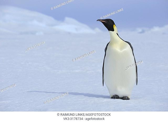 Emperor penguins, Aptenodytes forsteri, Adult, Snow Hill Island, Antartic Peninsula, Antarctica