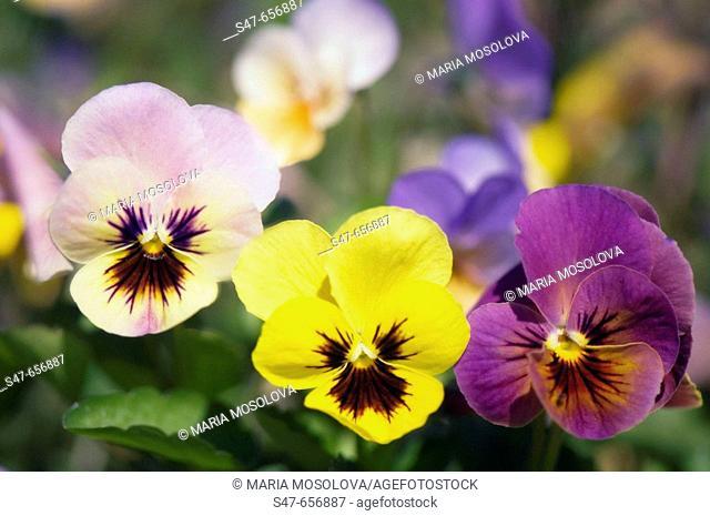 Pansy Flower Trio. Viola x wittrockiana. May 2007, Maryland, USA