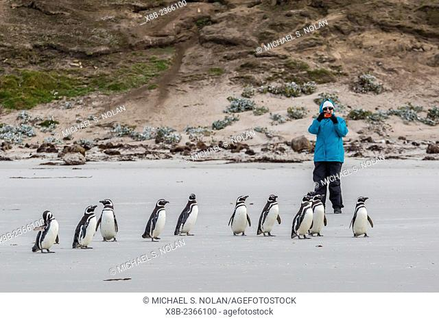 Lindblad Expeditions guest from the National Geographic Explorer with Magellanic penguins, Spheniscus magellanicus, on Saunders Island, Falkland Islands