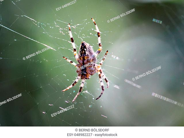 Details of a spider, spider on a plant, spider in the web