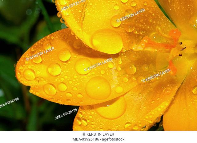 Yellow crocus, Crocus Hybrid, bloom, wet