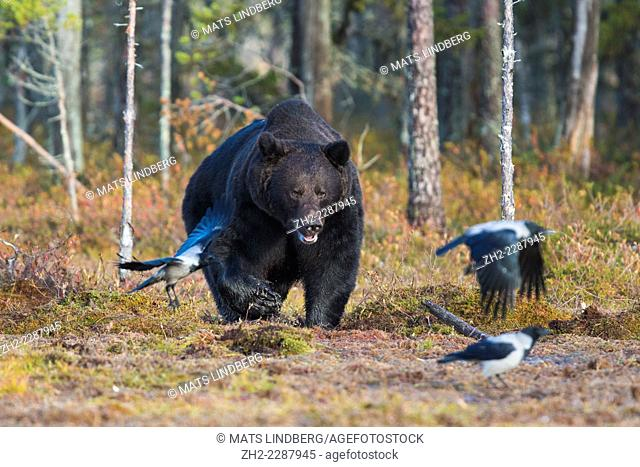 Big brown bear, Ursus arctos coming out from forest and crows are running away, Kuhmo, Finland
