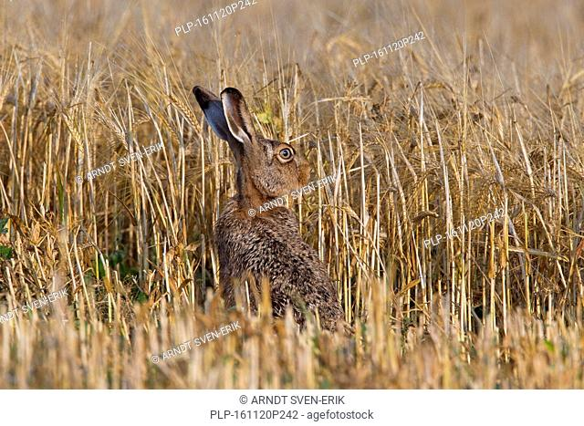 European Brown Hare (Lepus europaeus) sitting in wheat field showing camouflage colours