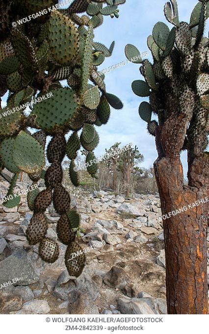 Prickly pear cacti (Opuntia) on Santa Fe Island (Barrington Island) in the Galapagos National Park, Galapagos Islands, Ecuador