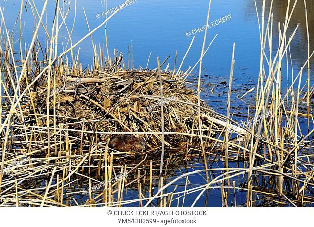 Muskrat sitting next to his den on an Illinois,marshland