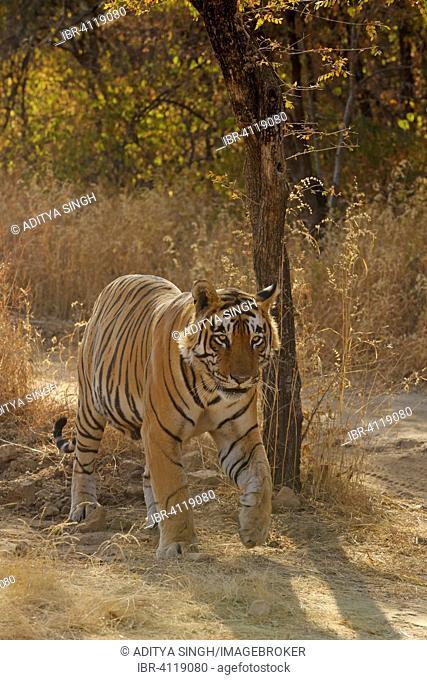 Bengal or Indian tiger (Panthera tigris tigris), Ranthambhore National Park, Rajasthan, India