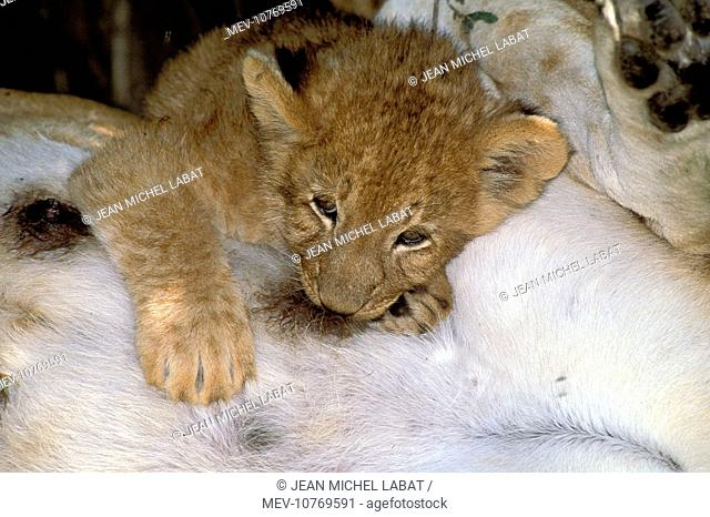 Lion - cub suckling (Panthera leo)