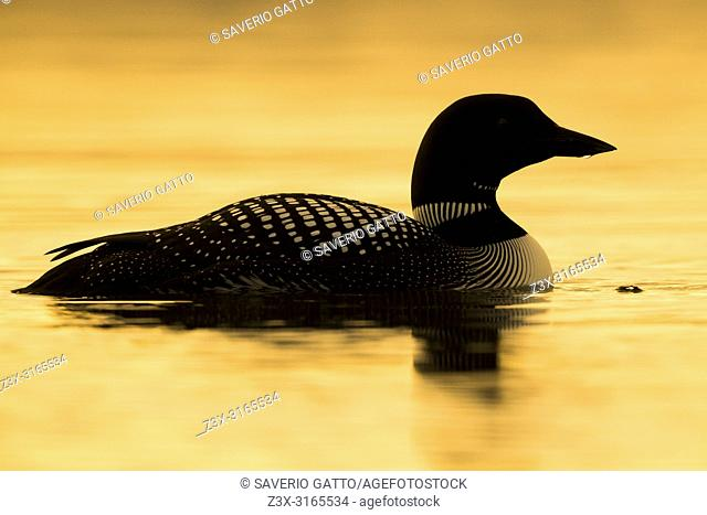 Great Northern Loon (Gavia immer), adult swimming in a lake at sunset