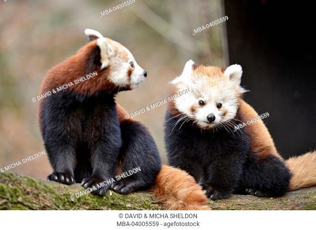 lesser panda, Ailurus fulgens, branch, frontal, sitting, looking at camera