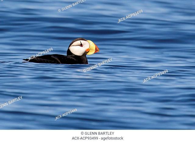 Horned Puffin (Fratercula corniculata) offshore of Seward, Alaska
