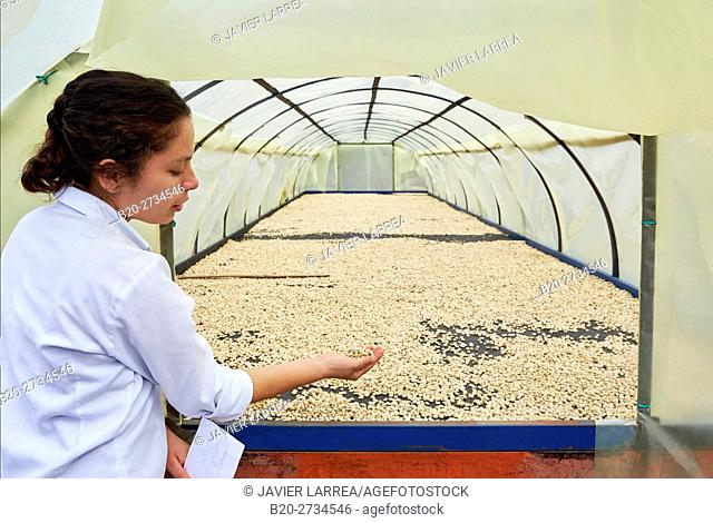 Parchment coffee, dried coffee bean, Hacienda San Alberto, Cafetal, Coffee plantations, Coffee Cultural Landscape, Buenavista, Quindio, Colombia, South America
