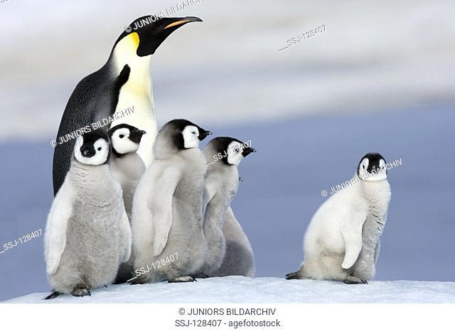 emperor penguin with cubs - Aptenodytes forsteri