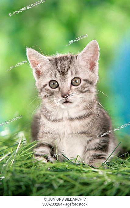 British Shorthair. Kitten sitting in grass. Germany