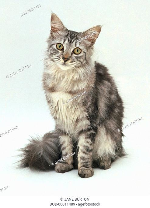 Silver Tabby Maine Coon Cat