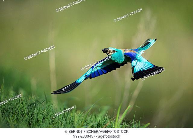 Roller (Coracias garrulus), flying with beetle as prey, Bulgaria