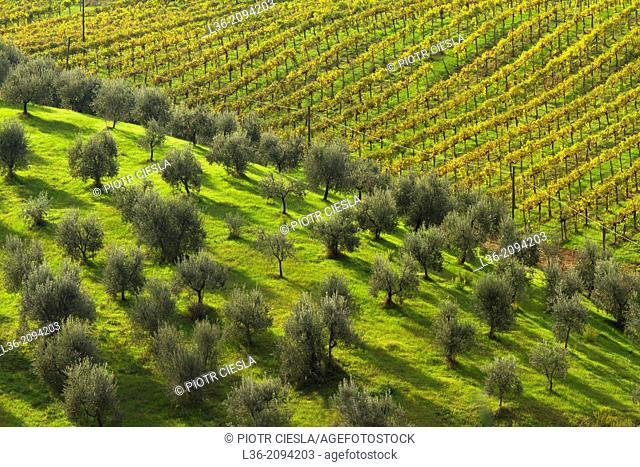Olive grove and vineyard, Tuscany, Italy