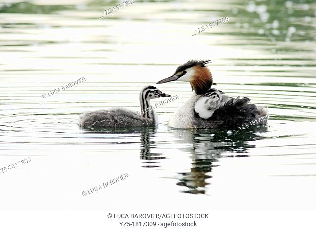 Great crested grebe with chick - Milan, Italy - Parco delle Cave